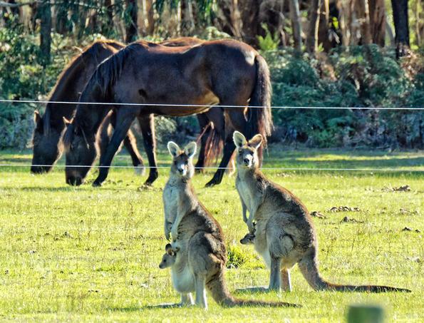 Kangaroos-53.jpeg
