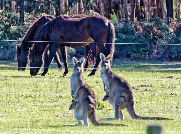 Kangaroos-54-detail.jpeg