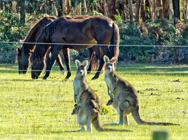 Kangaroos-54.jpeg