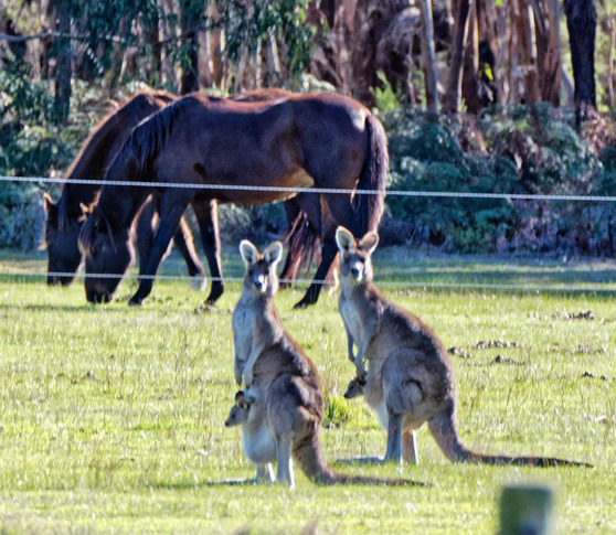 Kangaroos-55-detail.jpeg