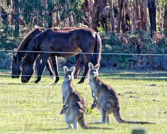 Kangaroos-56-detail.jpeg