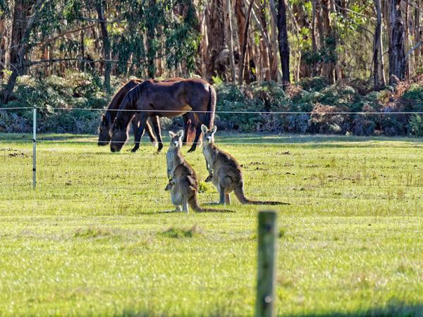 Kangaroos-58.jpeg