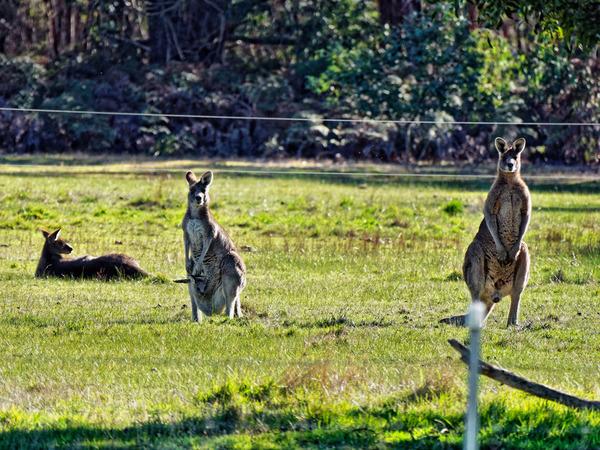 Kangaroos-6.jpeg