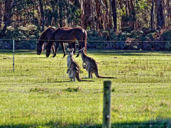 Kangaroos-60.jpeg