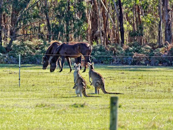 Kangaroos-63.jpeg
