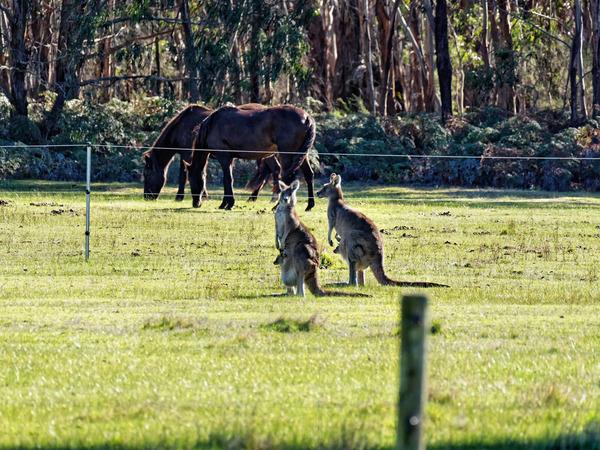 Kangaroos-64.jpeg
