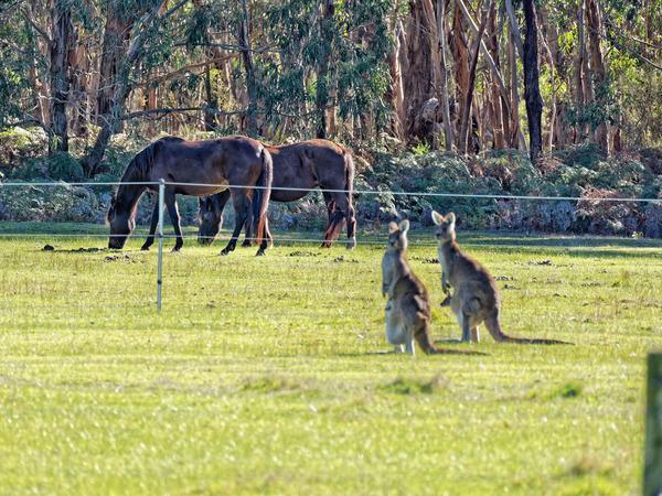 Kangaroos-66.jpeg