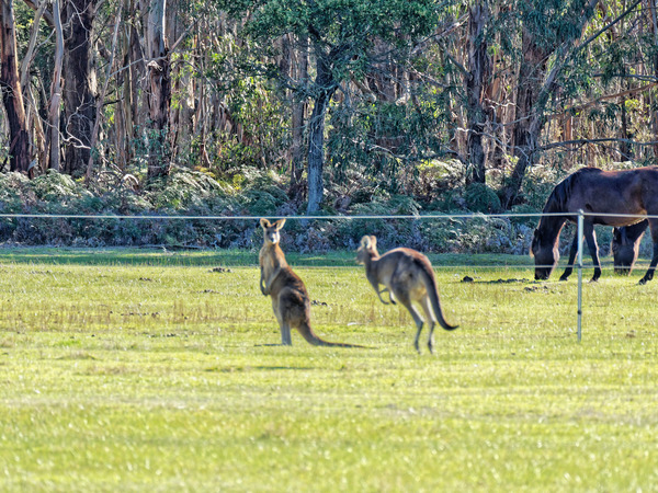 Kangaroos-67.jpeg