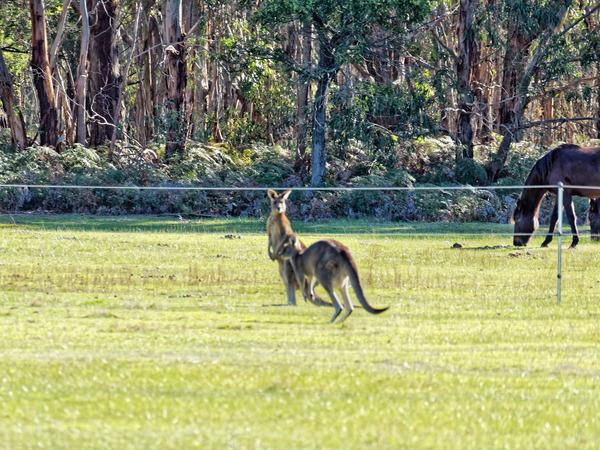 Kangaroos-68.jpeg
