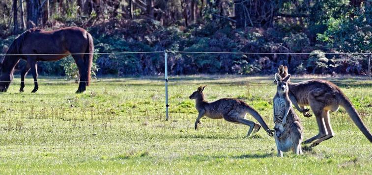 Kangaroos-7-detail.jpeg
