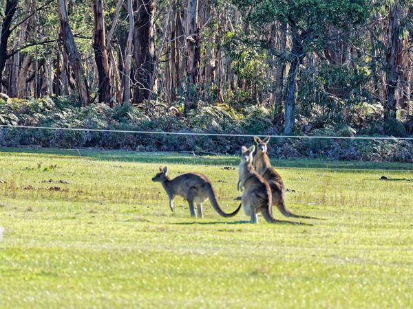 Kangaroos-72.jpeg