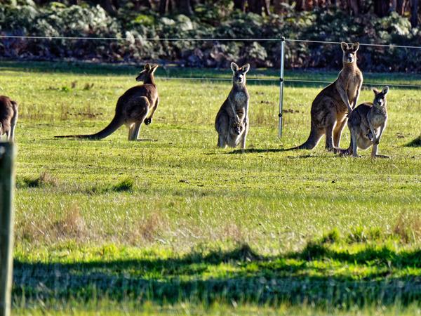 Kangaroos-75.jpeg