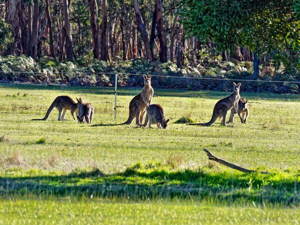 Kangaroos-76.jpeg