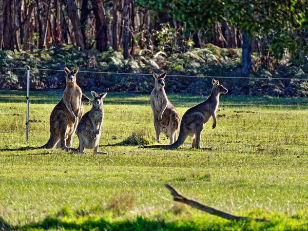 Kangaroos-80.jpeg