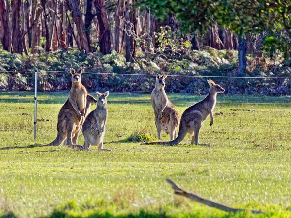 Kangaroos-81.jpeg