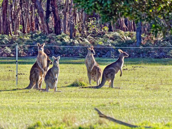 Kangaroos-82.jpeg