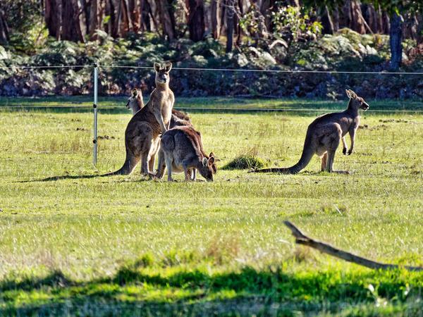 Kangaroos-88.jpeg