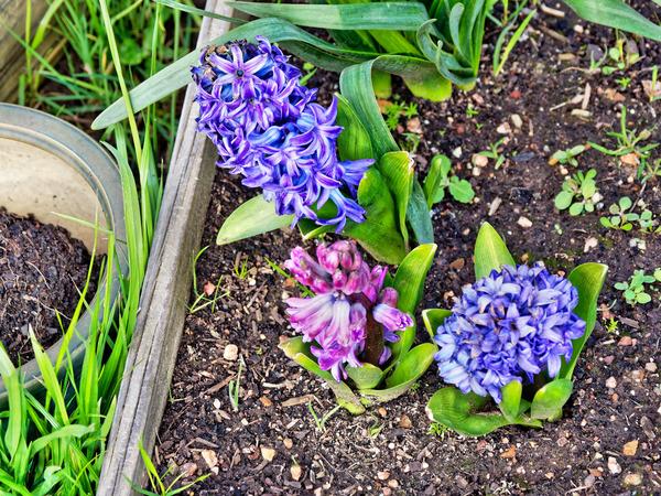 HyacinthHyacinti.jpeg