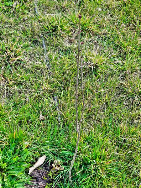 Lilac-1.jpeg