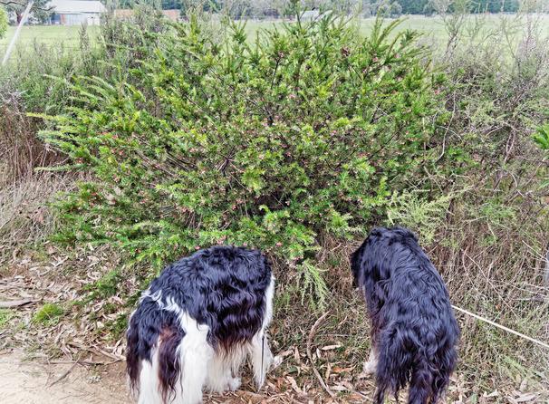 Greville-rosmarinifolia-1.jpeg