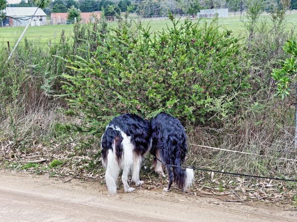 Greville-rosmarinifolia-3.jpeg