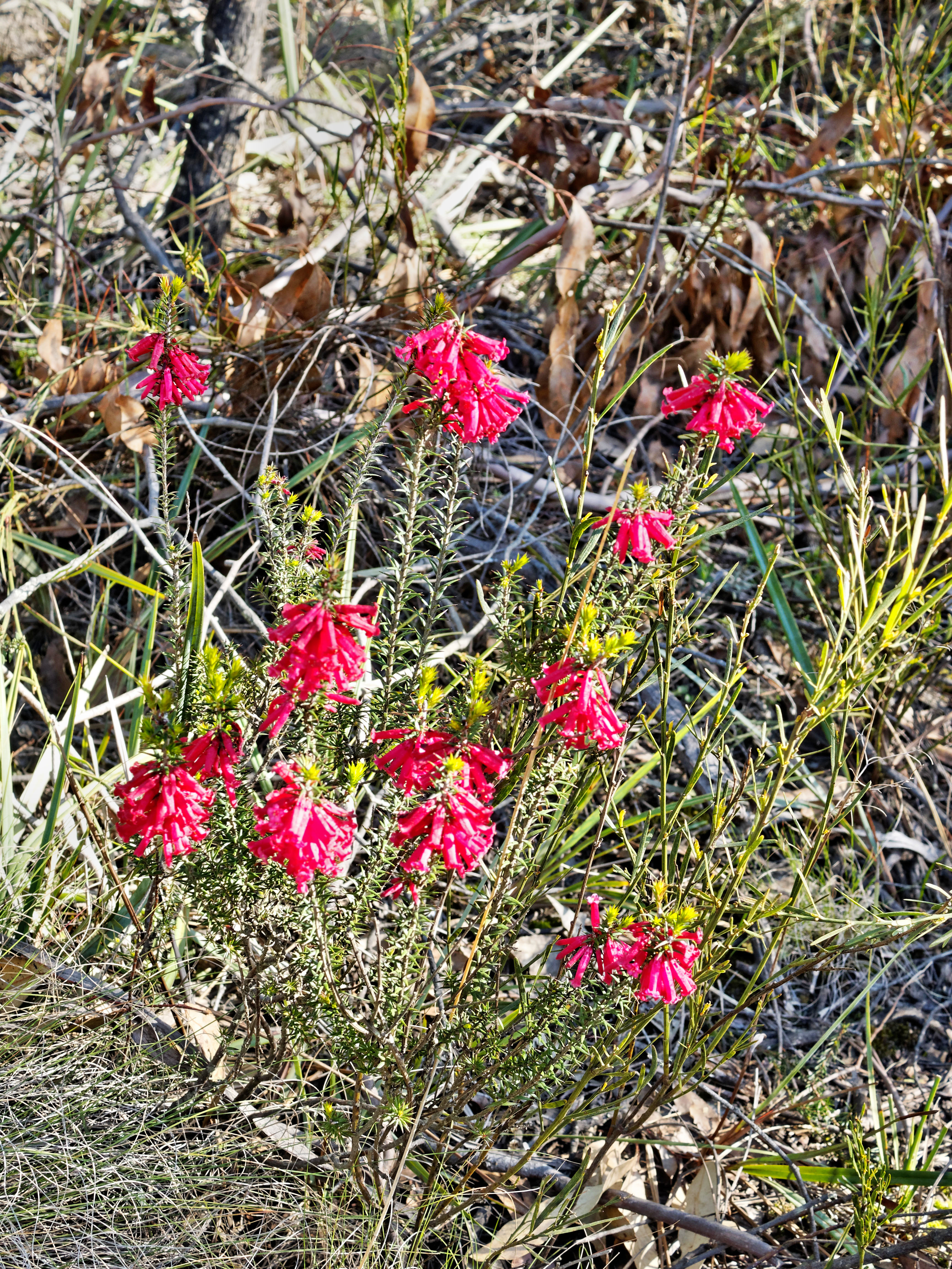 This should be Epacris-impressa-2.jpeg.  Is it missing?