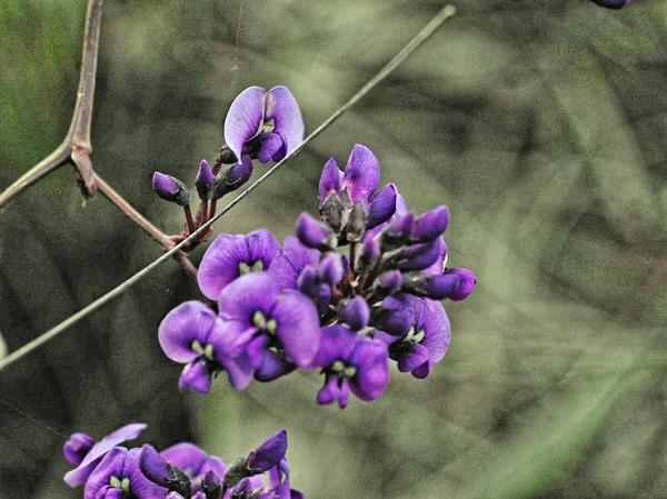 Hardenbergia-1-JPEG.jpeg