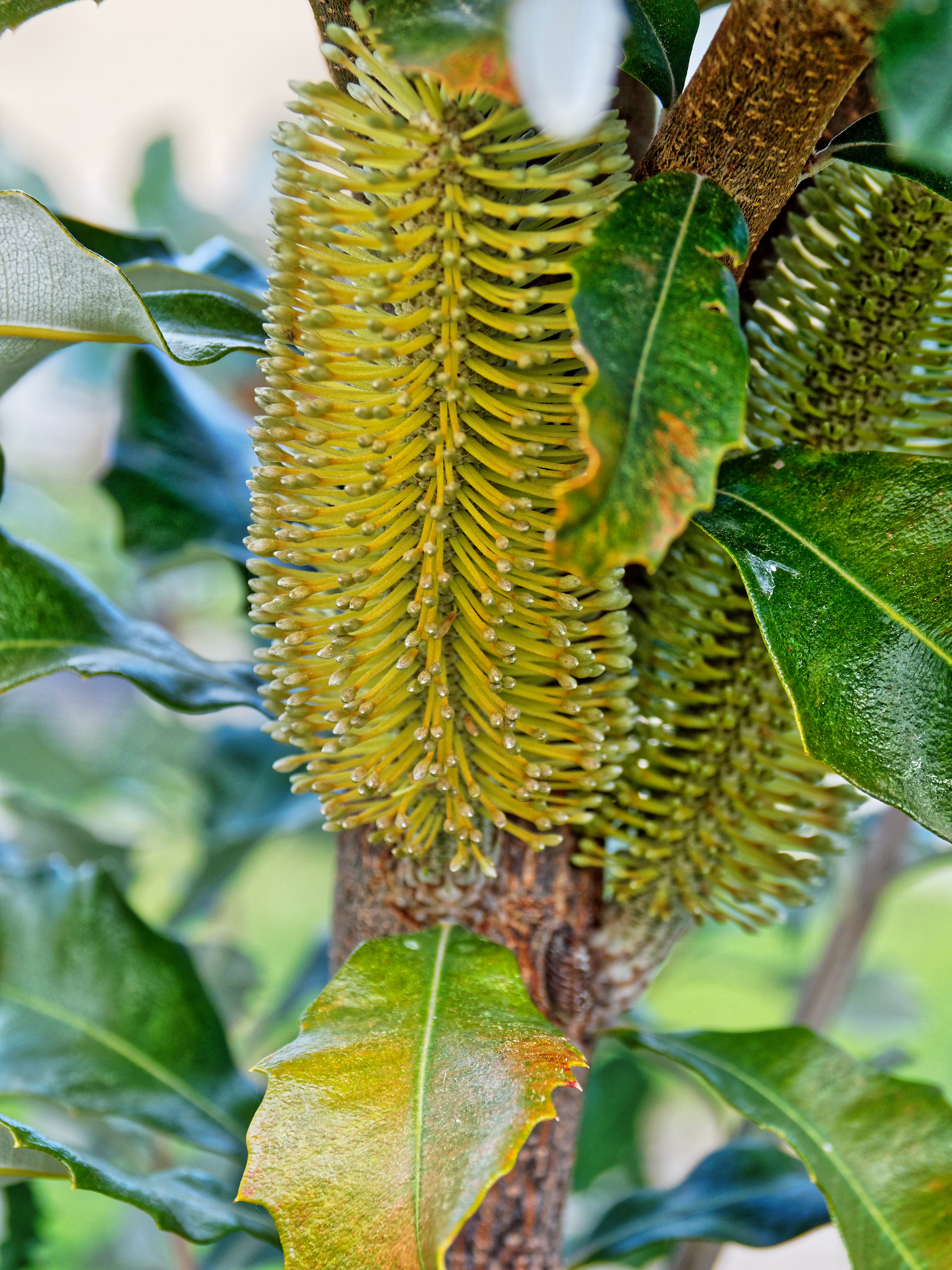 This should be Banksia.jpeg.  Is it missing?
