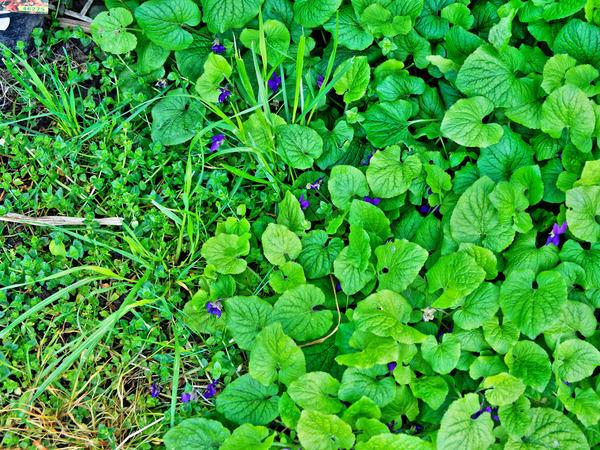 Violets-1.jpeg