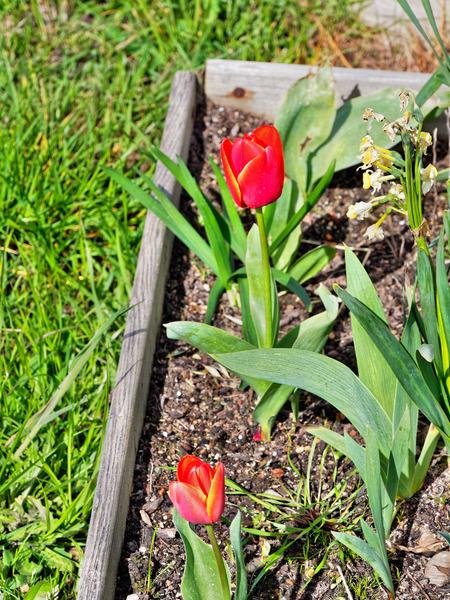 Tulip-1.jpeg