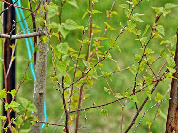 Birch-3.jpeg