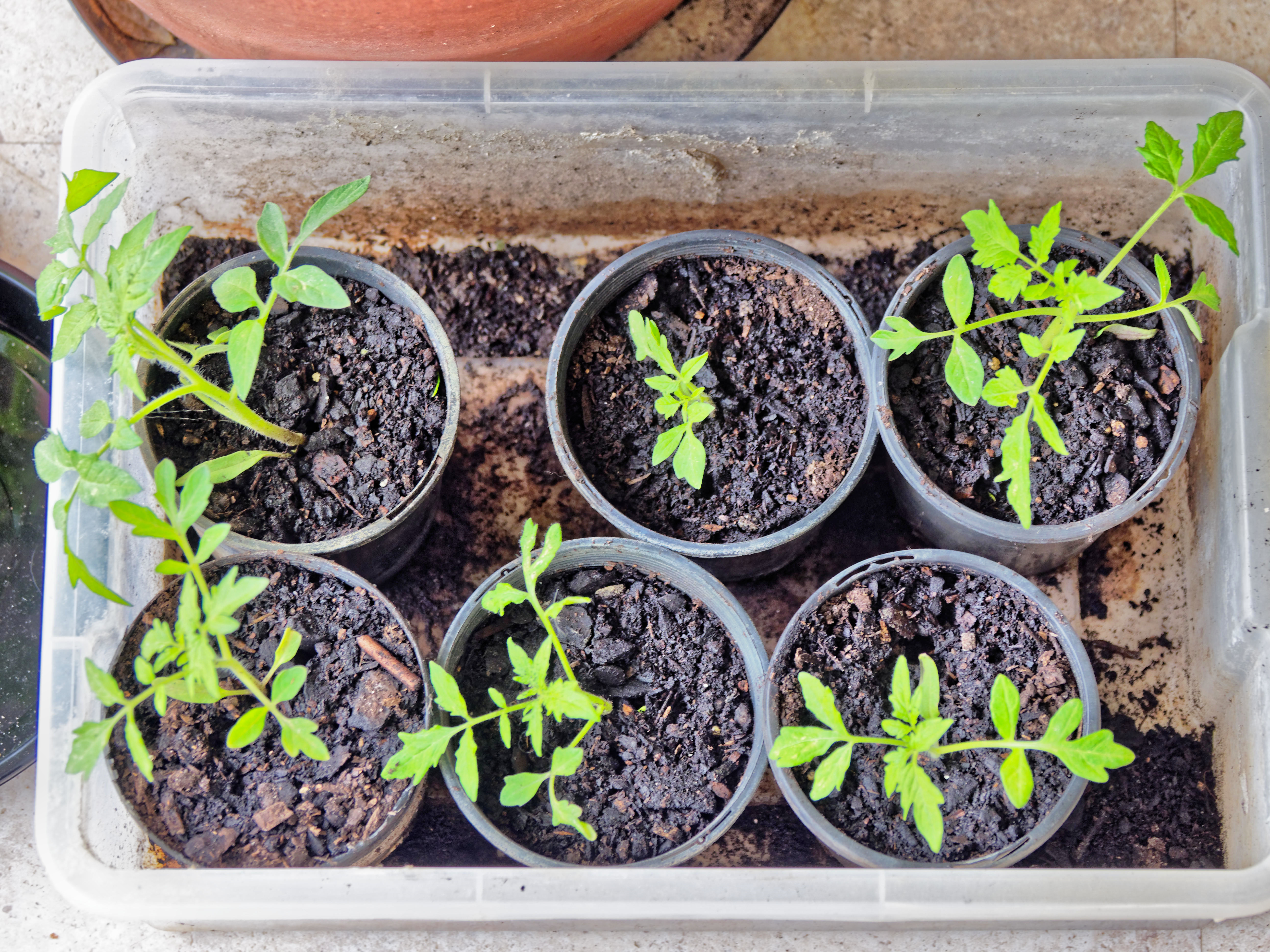 Tomato-seedlings-1.jpeg