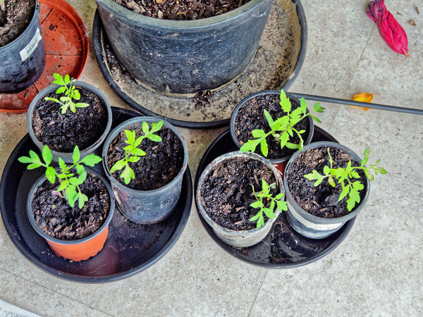 Tomato-seedlings-2.jpeg