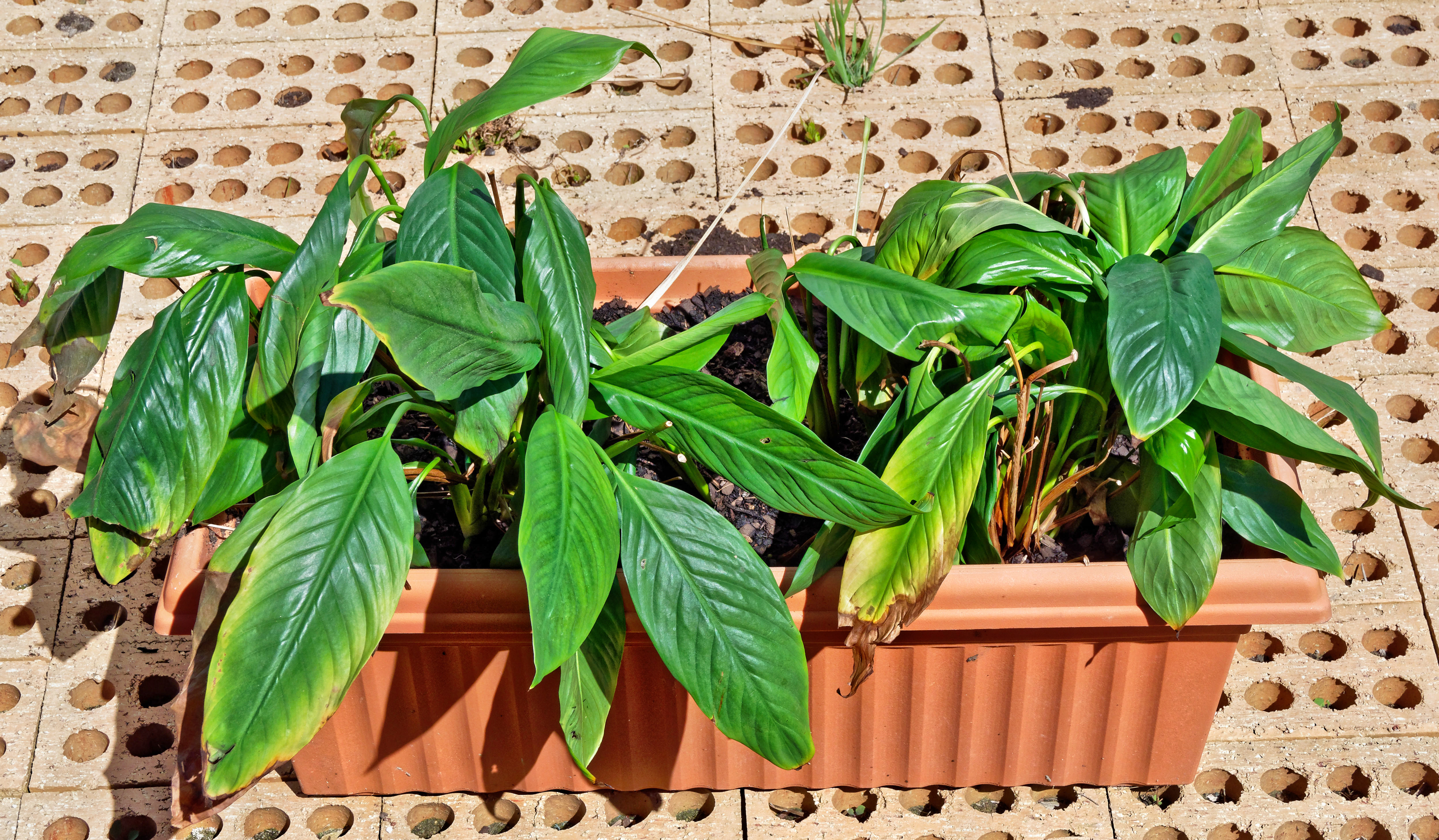This should be Spathiphyllum-1.jpeg.  Is it missing?
