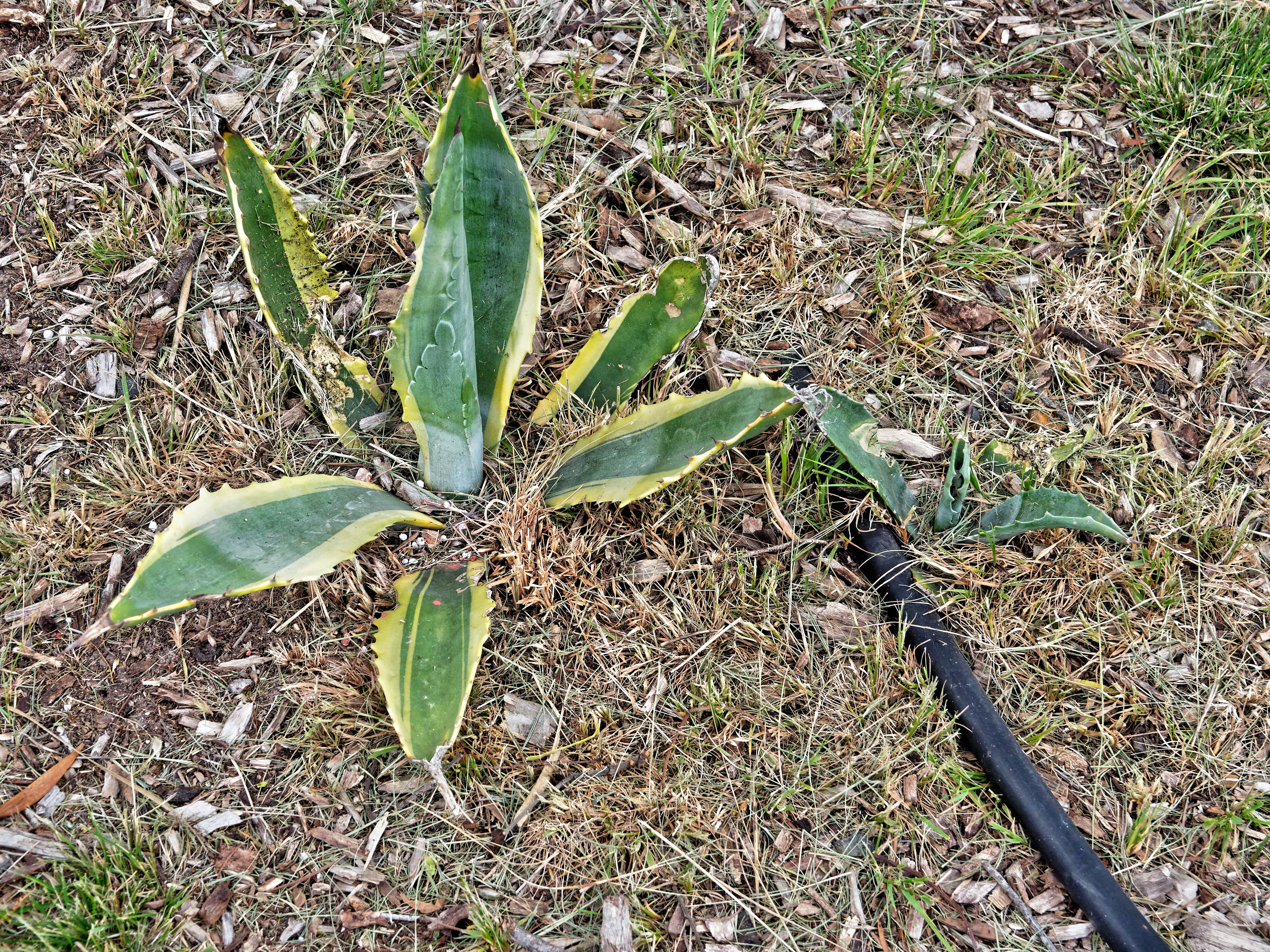 Aloe-2.jpeg