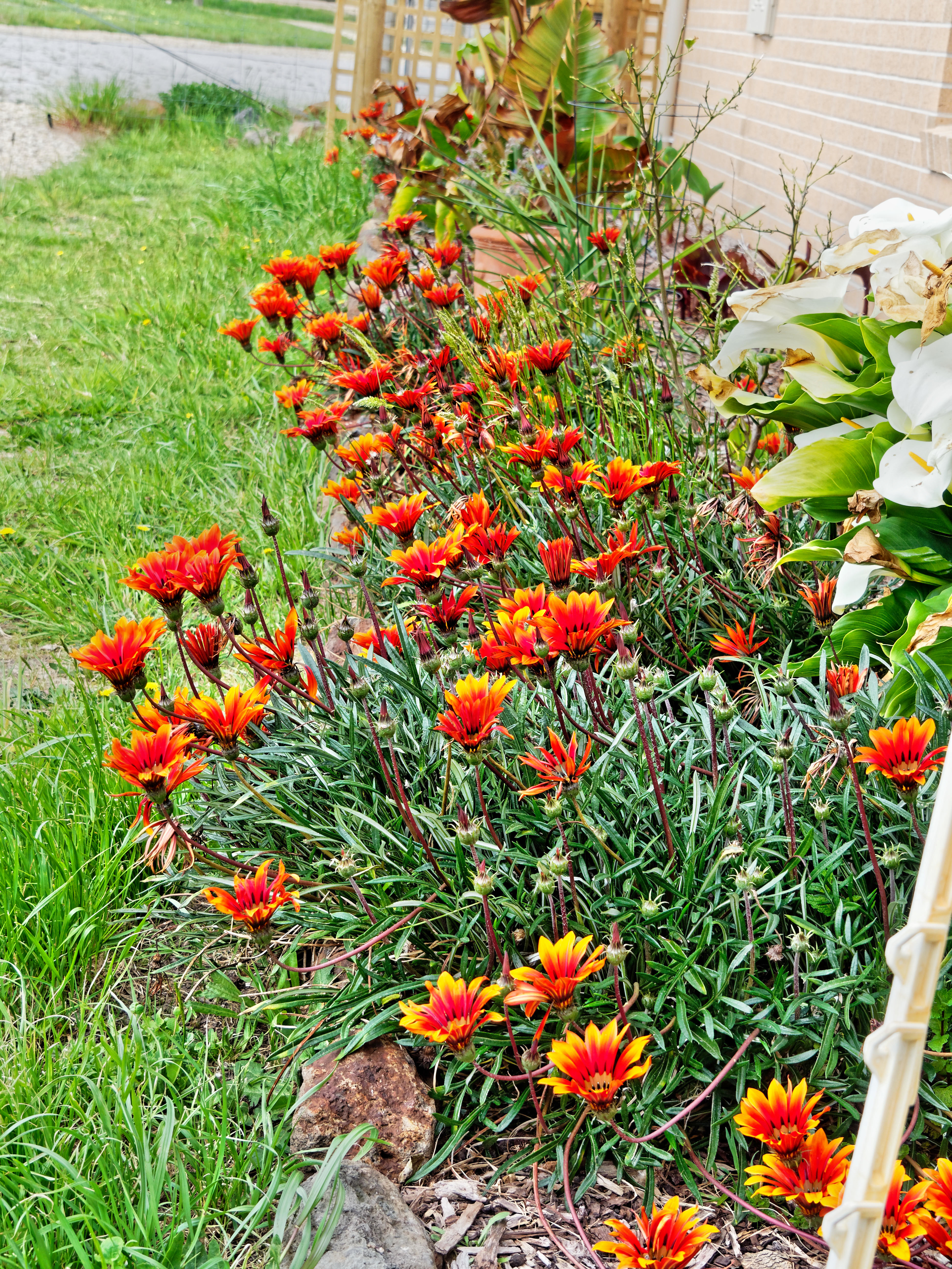 This should be Gazania-4.jpeg.  Is it missing?