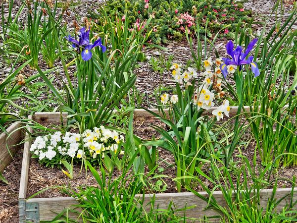 Iris-narcissus.jpeg