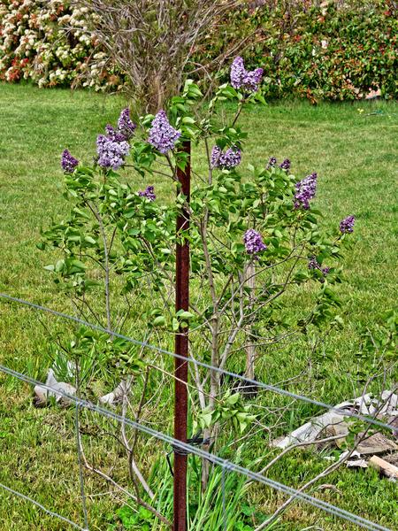 Lilac-2.jpeg