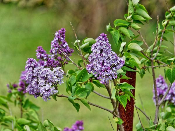 Lilac-3.jpeg