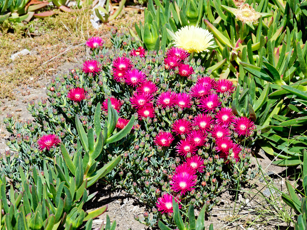 Carpobrotus-3.jpeg