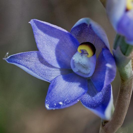 Thelymitra-pauciflora-13-detail.jpeg