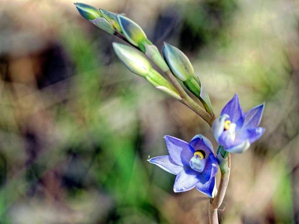 Thelymitra-pauciflora-12-DMap.jpeg