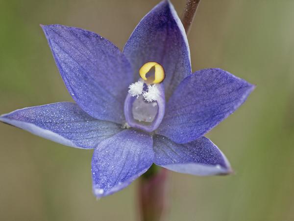 Thelymitra-pauciflora-7-DMap.jpeg