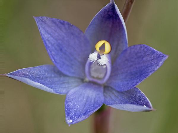 Thelymitra-pauciflora-8-DMap.jpeg