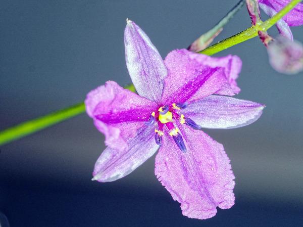 Dichopogon-strictus-2.jpeg
