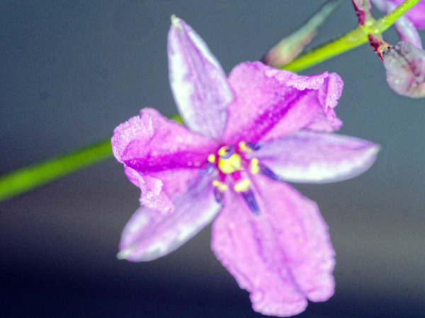 Dichopogon-strictus-3.jpeg