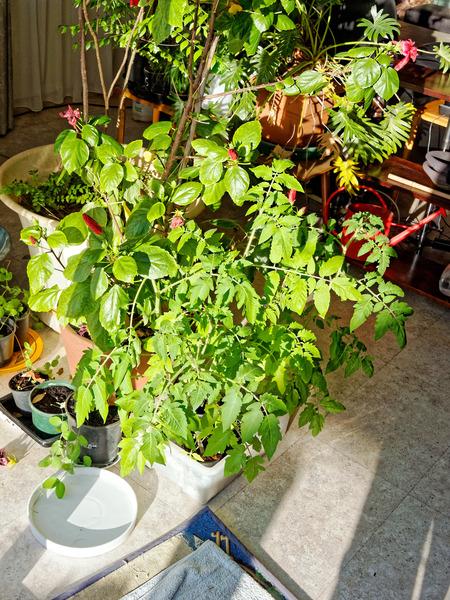 Tomatoes-3.jpeg