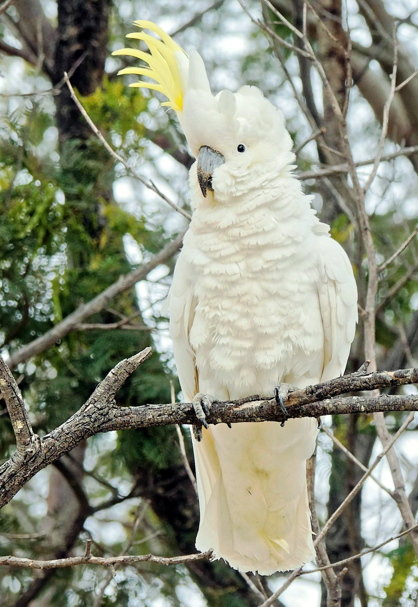 Cockatoo-2-detail.jpeg