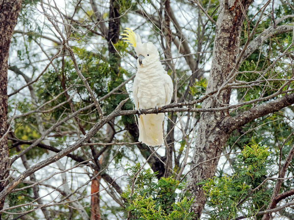 Cockatoo-2.jpeg