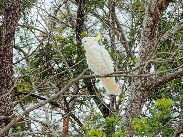 Cockatoo-6.jpeg